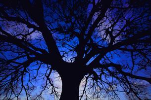 大木のシルエットの写真素材 [FYI01266817]