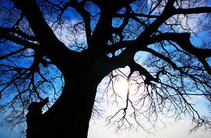 大木のシルエットの写真素材 [FYI01266819]