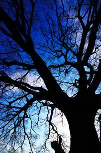 大木のシルエットの写真素材 [FYI01266821]