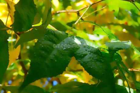 水滴がのっている葉っぱイメージ(やわらか)の写真素材 [FYI01266846]