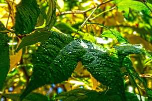 水滴がのっている葉っぱイメージ(High HDR)の写真素材 [FYI01266848]