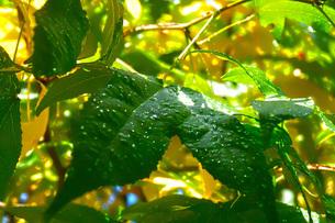 水滴がのっている葉っぱイメージ(Low HDR)の写真素材 [FYI01266850]