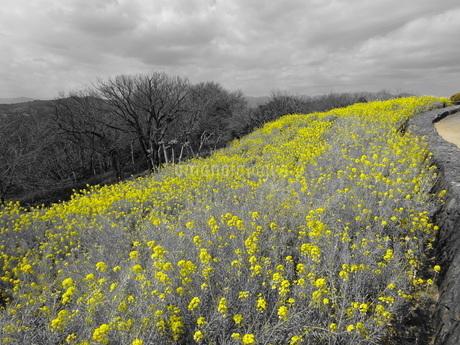 菜の花畑の写真素材 [FYI01266893]