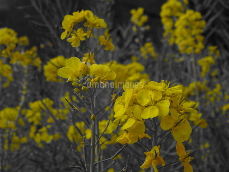 菜の花の写真素材 [FYI01266895]
