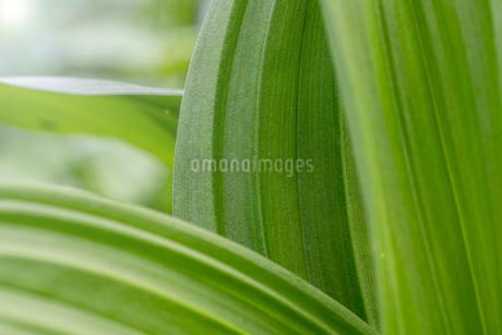 葉のクローズアップの写真素材 [FYI01266897]