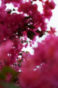 赤いブーゲンビリアが多く咲いているの写真素材 [FYI01266943]