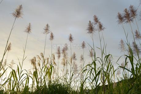 秋を感じさせる穂の写真素材 [FYI01266946]