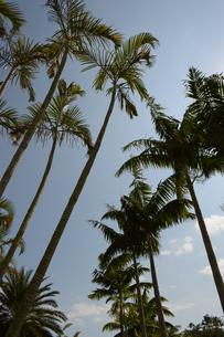 南国のヤシの木々の写真素材 [FYI01266954]