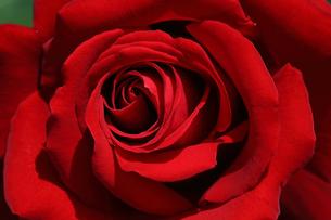 薔薇のクローズアップの写真素材 [FYI01267012]