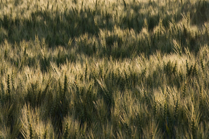 夕日を浴びて輝く麦の穂の写真素材 [FYI01267302]
