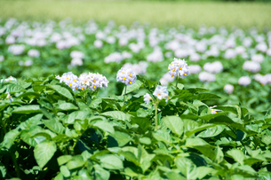 薄紫色のジャガイモの花の写真素材 [FYI01267305]