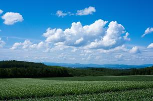 花が咲いたジャガイモ畑と青空の写真素材 [FYI01267307]