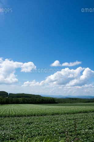 花が咲いたジャガイモ畑と青空の写真素材 [FYI01267309]