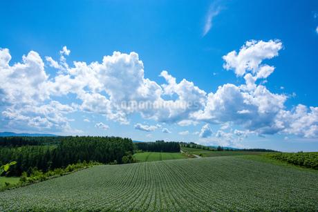 花が咲いたジャガイモ畑と青空の写真素材 [FYI01267312]