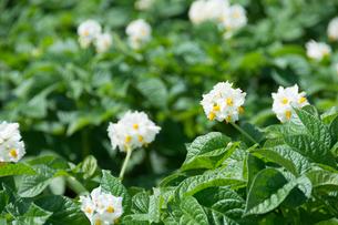 白いジャガイモの花の写真素材 [FYI01267314]