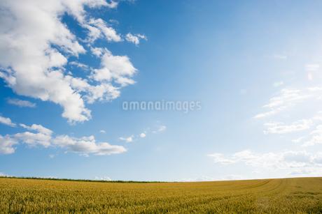 青空と収穫前の麦畑の写真素材 [FYI01267318]