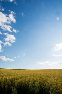 青空と収穫前の麦畑の写真素材 [FYI01267319]