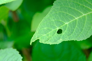 穴があいたアジサイの葉の写真素材 [FYI01267398]
