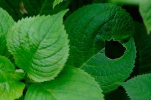 穴があいたアジサイの葉の写真素材 [FYI01267401]