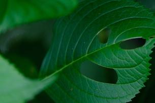 穴があいたアジサイの葉の写真素材 [FYI01267402]