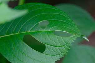 穴があいたアジサイの葉の写真素材 [FYI01267403]