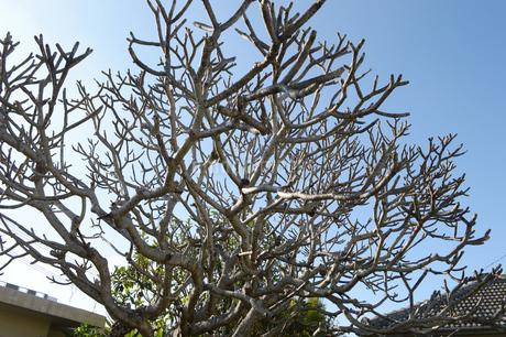 枯れている太い枝の木の写真素材 [FYI01267415]