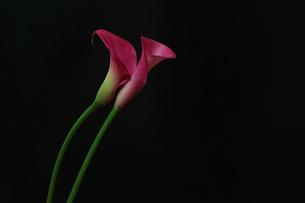 カラーの写真素材 [FYI01267426]