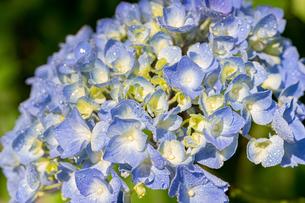 水色の紫陽花の写真素材 [FYI01267659]