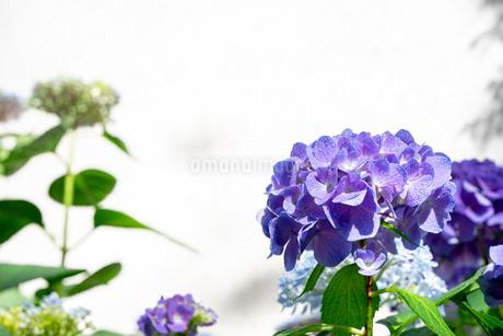 紫の紫陽花の写真素材 [FYI01267660]