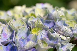 雨に打たれた紫陽花の写真素材 [FYI01267665]
