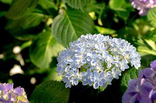 水色の紫陽花の写真素材 [FYI01267666]