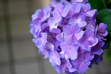 紫の紫陽花の写真素材 [FYI01267667]