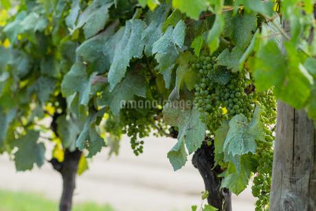 日本のワイン畑の写真素材 [FYI01267668]
