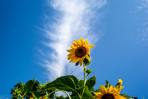 青空と向日葵の写真素材 [FYI01267669]