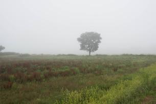朝霧の中に立つ木の写真素材 [FYI01267736]