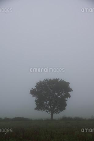 朝霧の中に立つ木の写真素材 [FYI01267737]