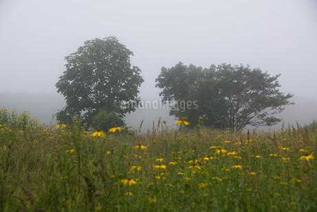 朝霧の中に立つ木の写真素材 [FYI01267738]