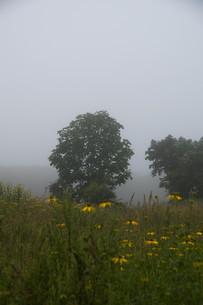 朝霧の中に立つ木の写真素材 [FYI01267739]