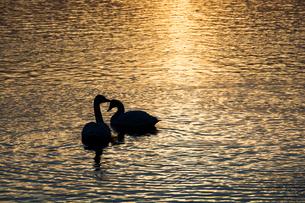 夕暮れの湖に浮かぶ白鳥の写真素材 [FYI01267742]