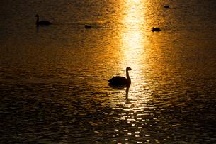 夕暮れの湖に浮かぶ白鳥の写真素材 [FYI01267743]
