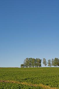 緑の野菜畑と白樺並木 美瑛町の写真素材 [FYI01267747]