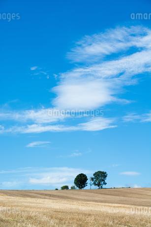 刈り取りが終わった麦畑と青空 美瑛町の写真素材 [FYI01267750]