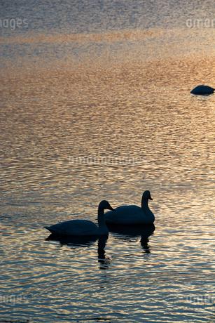夕暮れの湖に浮かぶ白鳥の写真素材 [FYI01267754]