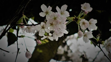 桜の写真素材 [FYI01267797]