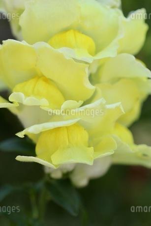 金魚草の写真素材 [FYI01267801]