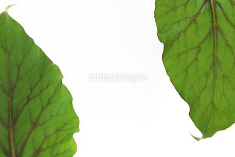葉の背景画像の写真素材 [FYI01267860]