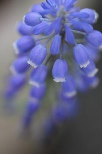 ムスカリの花の写真素材 [FYI01267899]