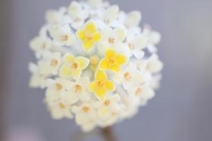 ミツマタの花の写真素材 [FYI01267900]