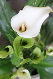 カラーの花の写真素材 [FYI01267903]