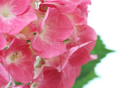 紫陽花の写真素材 [FYI01267993]